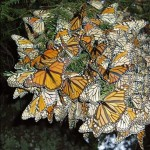 Monarch Butterfly Sanctuaries