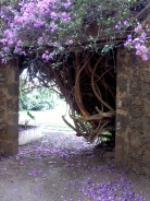 Courtyard Bouganvillia