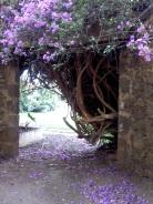 Courtyard Bouganvillia